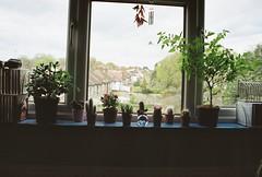 Window garden (felixxalexander) Tags: flowers cactus plants plant film cacti succulent chili gardening indoors windowsill chilis filmphotography indoorgardening windowgarden