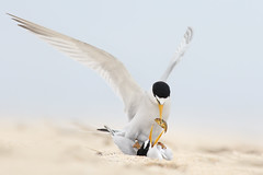Least Tern Courting/Mating Series 4/10 (bmse) Tags: food fish beach canon f mating l ritual f56 least tern exchange salah 400mm wingsinmotion 7d2 hunntington bmse baazizi