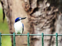 Forest Kingfisher (stormgirl1960) Tags: blue bird animal forest wildlife beak australia darwin kingfisher kookaburra northernterritory feathered birdlife