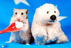 """Yummy yoghurt!"" ~ Fifi (pyza*) Tags: bear pet cute animal angel rodent furry critter hamster fifi hammie syrianhamster chomik filifionka"