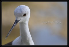 #bird #birds #portrait #bokeh #EPAA #uae #sharjah #epaashj     #محمية_واسط_للأراضي_الرطبة #محمية_واسط_الطبيعية #الشارقة #طائر #طيور #بورتريت #تصوير #تصويري #فوتوغرافي  #photography (alrayes1977) Tags: portrait bird birds photography bokeh uae sharjah تصوير تصويري الشارقة طيور طائر epaa فوتوغرافي بورتريت محميةواسطالطبيعية epaashj محميةواسطللأراضيالرطبة