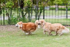 Bear and his friends at the dog park-6 (dai-chan) Tags: dog dogs fun golden nikon play outdoor running run retriever nikkor dogpark awaji d3 70200mmf28gvrii