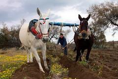 Plow in Akrotiri (Klearchos Kapoutsis) Tags: horse animal santorini plow akrotiri      michalismpelas mpelas