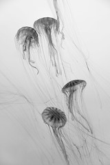 Jelly Art (Seacoast Photography) Tags: ocean sea blackandwhite bw fish black animal animals boston dark aquarium marine soft jellyfish calming peaceful sealife calm ambient jelly duotone aquatic fragile newenglandaquarium bostonaquarium