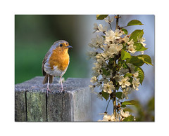 Spring partners (Explored) (hehaden2 (away for a week)) Tags: robin sussex post blossom naturereserve blended merged woodsmill