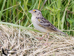 Grasshopper Sparrow (Shawn Collins Photography) Tags: bird nature birds canon outdoors photography pennsylvania wildlife birding sparrows grasslands mercercounty crawfordcounty bobolinks venangocounty pabirds pabirding