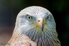 Red Kite (parry101) Tags: red kite birds for centre kites international prey icbp