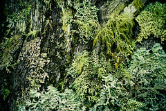 Winter Moss (Lennixx) Tags: yallingup bush forest woods green lichen moss fungi wood deadtree mossy soft shaggy fruticose foliose textural winter fuzzy texture minimalism