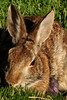 Bunny Birthing Center (5)-6x9 (Paul-W) Tags: rabbit bunny grass yard child birth mother ears 2016 givingbirth