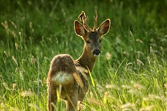 Deer (arawnthompson) Tags: portrait grass animal animals sunny shy deer capture medow