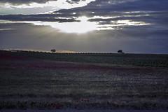 Atardece en Villanueva de Alcardete (El Sumiller fiel) Tags: atardecer paisaje campo mayo amapola