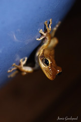 Tree Frog (jamiegoodspeed) Tags: blue brown tree animal contrast wildlife frog cuban invasive