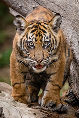 Nelson (ToddLahman) Tags: baby cat canon teddy tiger nelson tigers sumatrantiger joanne safaripark escondido canon100400 tigercub babytiger tigertrail eyelock sandiegozoosafaripark babysumatrantiger canon7dmkii