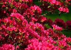 rot (Cathrine1) Tags: red flower rot nature natur busch blten niedersachsen