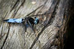 Libellule (Valrie Grcevic) Tags: france nature canon eau photographie couleur insecte libellule etang isre valeriegrcevic