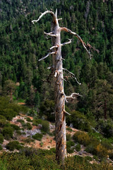 Ghost Tree (Russ Allison Loar) Tags: wood mountain tree nature wrightwood forest timber nationalforest deadtree treetrunk bark drought climatechange lumber globalwarming sangabrielmountains deforestation ghosttree clearcutting sanbernardinocounty treedisease southerncaliforniadrought