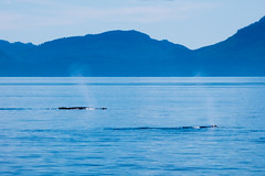 Dual Humpback Whale Spouts (Lee Edwin Coursey) Tags: alaska blue adventure landscape insidepassage travel uncruise water animal whale ocean 2016 humpback nature whales