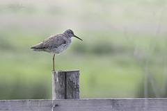 Tureluur (judithvanagthoven) Tags: birds canon de nederland vogels natuur tureluur haastrecht vlist sigma150500mm steltloperachtigen 7dmarkii