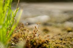 DSC07165 (mortelette.david) Tags: grass plante dof bokeh m42 bubble grasses bulles flou herbe helios 442 gramines vintagelens sovietlens helios44258mmf2