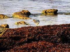 héron vert pêchant au bord de l'eau (loic.renia) Tags: birds vert oiseau guadeloupe antilles héron butorides virescens