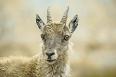 Bouquetin des Alpes  ( Capra ibex ) (aeyuio) Tags: wild nature animal alpes wildlife animaux mercantour alpesmaritimes bouquetin parcnationaldumercantour capraibex parcdumercantour bouquetindesalpes bouquetinalpin