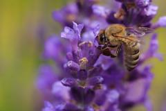 Was versteckt sich im gelben Blumenmeer? (Fotos4RR) Tags: biene bee blume flower sommer summer insekt insect macro makro canonef100f28usmmacro canonef100mmf28macro