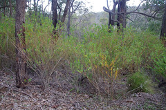 Polygala myrtifolia, Roleystone, near Perth, WA, 25/05/16 (Russell Cumming) Tags: plant weed perth westernaustralia polygala polygalaceae roleystone polygalamyrtifolia