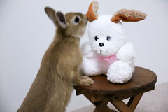 Ichigo san 232 ICHIGO san  (mensore) Tags: family pet brown rabbit bunny dwarf netherland ichigo   netherlanddwarf
