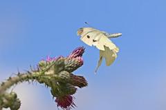approaching butterfly (dr.larsbergmann) Tags: summer detail macro nature fauna butterfly eos wings flora flickr extreme flight 100mm landing birdsinflight approaching 14000 explored ef100mmf28lmacroisusm