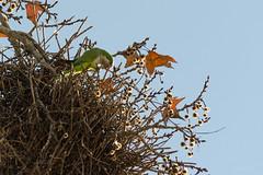 Cotorra (Cris Pardo) Tags: myiopsitta monachus cotorra
