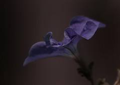 Just a drop (Patricia McAtee - Photos of Maine) Tags: petunia purple purpleflower waterdrop fllowermacro