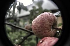 fresh (LooreEST) Tags: fresh apple fruit naturephoto nature eat rain water drops macro tree wood garden red juicy juice