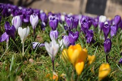Spring 2015 (Thefullminty) Tags: crocus portsunlightvillage