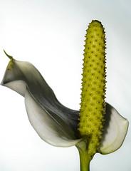 Day 43/365 (JohannesLundberg) Tags: plants plantae araceae biology inflorescense spathe spadix angiospermae floweringplants magnoliophyta angiosperm project365 365photos 2organisms