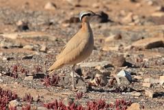 Cream-coloured Courser (andyt1701) Tags: fuerteventura birdholidays
