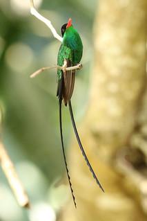 Trochilus polytmus ♂ Red-billed Streamertail
