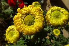 Chrysanthemum bud (dgardenia) Tags: dahlia dog pet macro home garden seeds mums mum frangipani geranium chrysanthemum seedling dahlias alyssum snapdragon diascia nemesia duranta geishagirl durantarepens