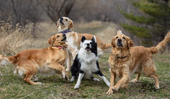 Game of Fetch (Rainfire Photography) Tags: park ontario canada dogs goldenretriever fun nikon play walk trinity bailey karma bordercollie bandit splitface heterochromia rainfirephotography