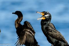 Double-crested Cormorant (gpfhoto) Tags: lajolla cormorant lajjollacove