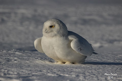 Snowy Male Nice 2 (alainpoirier48) Tags: male cool nice close quebec snowy north des qubec alain owls poirier neiges harfang mle