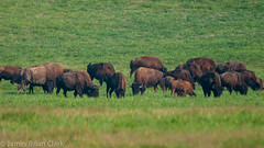 Bison Herd, Land Between the Lakes. (.James Brian Clark) Tags: park wild usa brown male nature grass animal animals silhouette closeup illustration america fur landscape mammal outdoors cow big buffalo power cattle symbol head wildlife north large meadow bull ox national american yellowstone strength prairie endangered horn bison powerful herd vector isolated horned