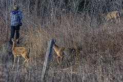 AttackOfTheWhitetail (jmishefske) Tags: park nature wisconsin franklin march nikon photographer daniel wildlife center doe deer milwaukee prairie surrounded whitetail wehr 2015 whitnall halescorners d7100