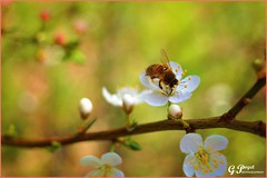 BRIN DE PRINTEMPS (Gilles Poyet photographies) Tags: nature fleurs printemps soe auvergne abeille beaumont puydedme autofocus aplusphoto artofimages rememberthatmomentlevel1