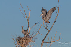 Great Blue Herons work on their nest
