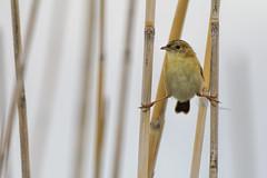 Golden-headed Cisticola 2015-03-08 (_MG_1824) (ajhaysom) Tags: australia melbourne australianbirds goldenheadedcisticola cisticolaexilis pointwilson westerntreatmentplant canoneos60d sigma150600