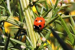 7-spot Ladybird on gorse (sandlings) Tags: beetle ladybird coleoptera 7spotladybird coccinella7punctata