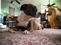 Master of my Milk-Bone (RGL_Photography) Tags: newjersey unitedstates sydney pit pitbull milkbone pitty apbt americanpitbullterrier molosser pitbullterrier pibble nannydog bullybreed iphone6plus pibblesoniphone6plus