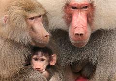 mantelbaviaan Emmen JN6A3195 (j.a.kok) Tags: baboon emmen baviaan mantelbaviaan