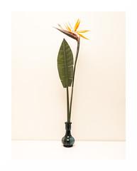 About Flowers II (giorgio.furlani80) Tags: flowers stilllife white flower london wall follow pot fiore londra whitewall picoftheday naturamorta strelitzia bluepot fioreesotico follow4follow esoticflower