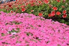 ~2015 (mawingchung,,,) Tags: china park flower macro hongkong nikon hong kong   kowloon     d800e